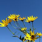 Sunflowers in the Sky by DEB CAMERON