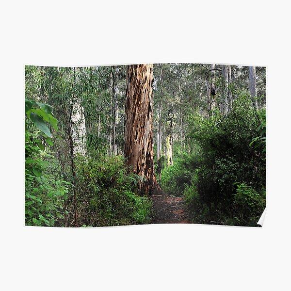 Karri Tree Walk - Pemberton WA Poster