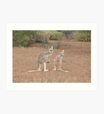 Red Kangaroos Art Print
