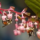 Twin Bumble Bees at Work by David Friederich