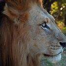 Lion Stare by Mark Lindsay