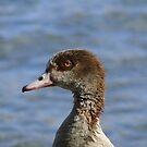 Egyptian Goose by Mark Lindsay