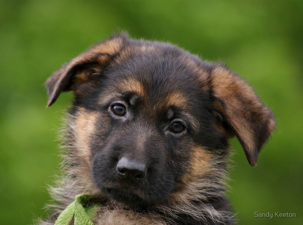 Quot German Shepherd Puppy Close Up Quot By Sandy Keeton Redbubble