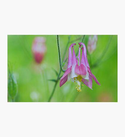 Pretty Pink Columbine Flower Photographic Print