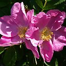 Pink Beach Rose's by Lee d'Entremont