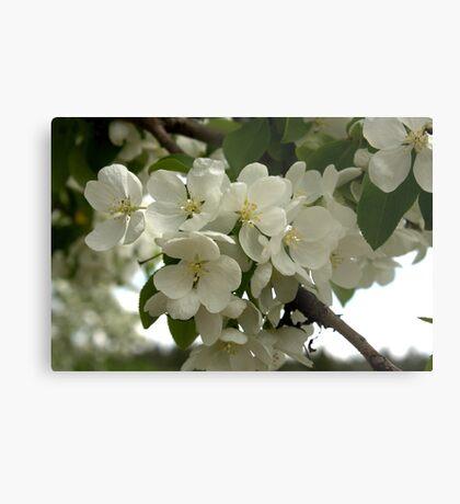 White Blossoms. Metal Print