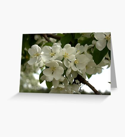 White Blossoms. Greeting Card