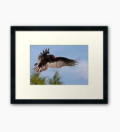Vulture Descent Framed Print