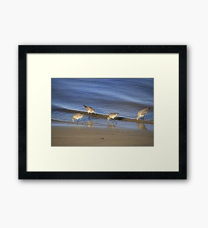 Sandpipers Feeding Framed Print