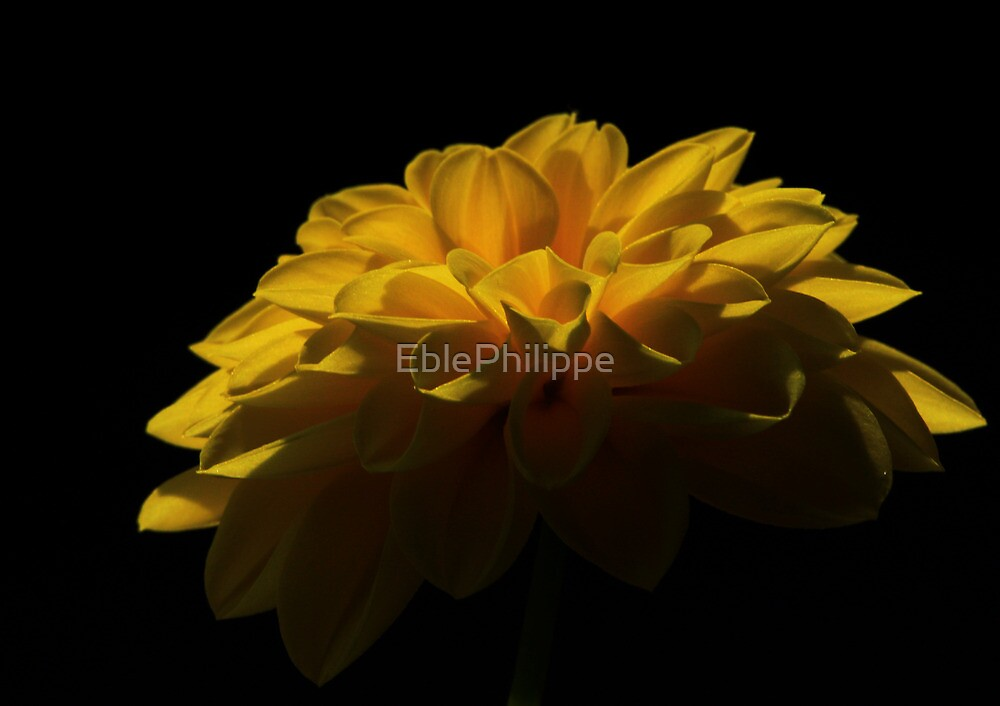 Yellow flower #1 by EblePhilippe