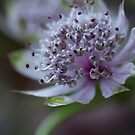 Intricate Astrantia by Jenni77