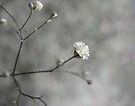 baby's breath by Ingrid Beddoes