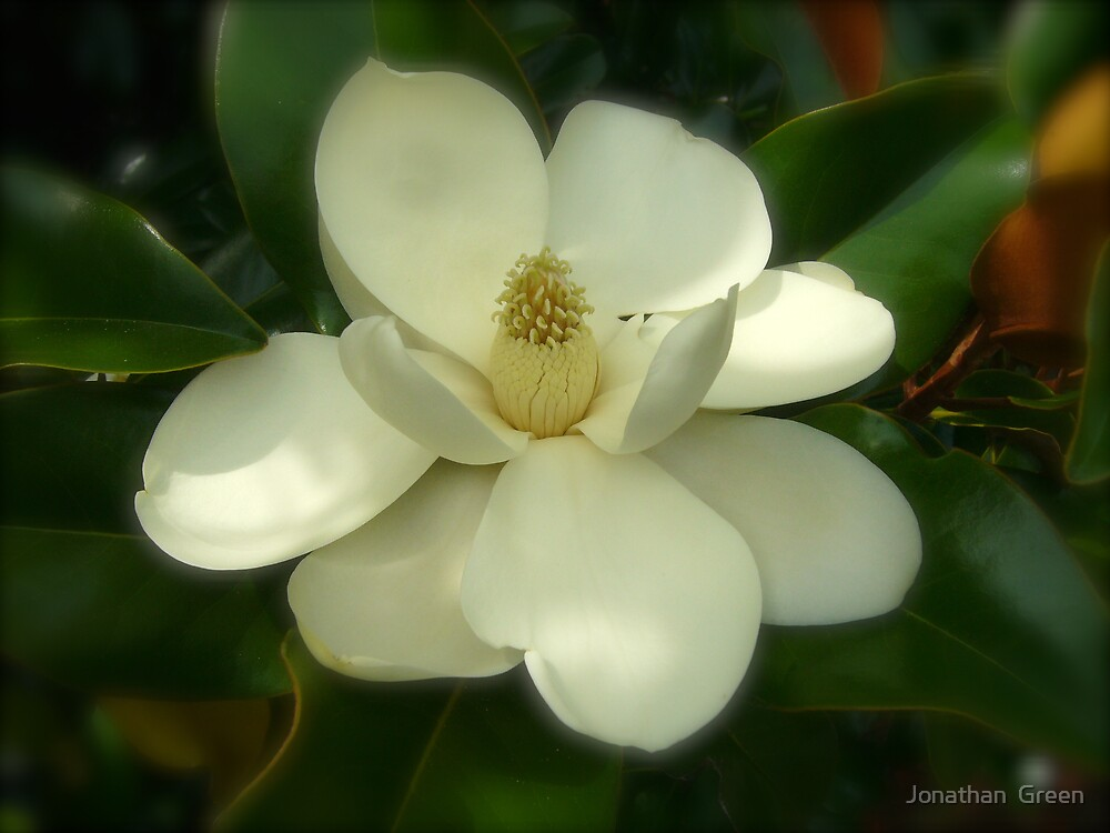 Magnolia Flower Blooms NC By Jonathan Green by Jonathan  Green