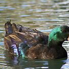 Duck on a Pond by DebbieCHayes