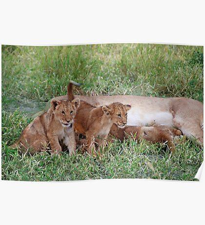 Lion Family, Central Kalahari Game Reserve, Botswana, Africa Poster