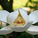 Southern Magnolia by FLgirl