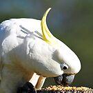 Sulphur Crested Cockatoo. Cedar Creek, Queensland, Australia. (5) by Ralph de Zilva
