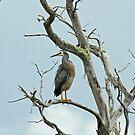 Heron In Dead Tree by Robert Abraham