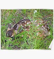 Mule deer fawn Poster
