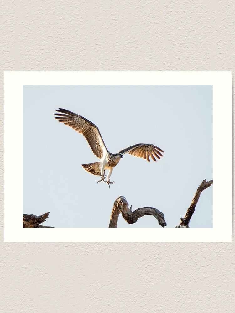 Alternate view of Eastern Osprey Art Print