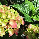 hydrangea I by Faith Puleston