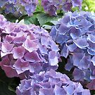 hydrangea III by Faith Puleston