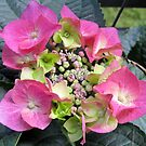 hydrangea IV by Faith Puleston