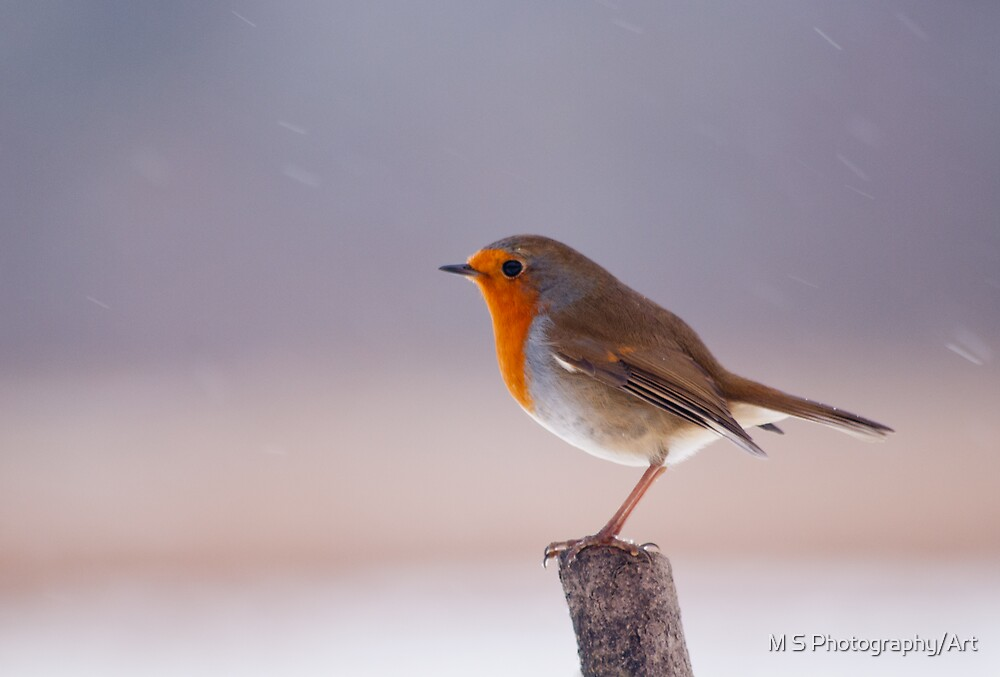 Robin in the Snow by M S Photography/Art