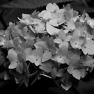 Hydrangea - Black & White by Chris Goodwin