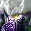 Smiling Iris by Rhonda Blais