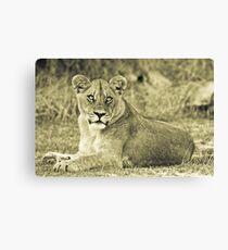 Lioness - Okavango Delta, Botswana Canvas Print