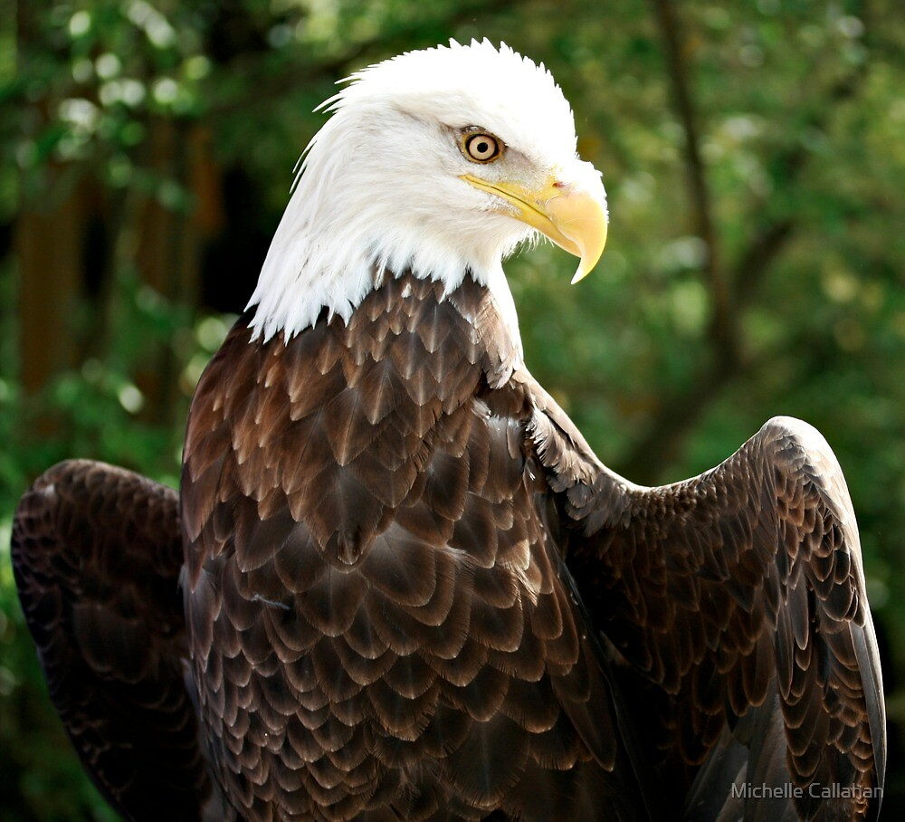 Eagle by Michelle Callahan