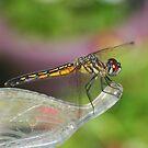 Dragonfly by Karen K Smith