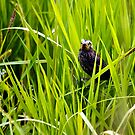 Fledgling Red-winged Blackbird by amontanaview