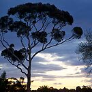 RIP, After-sunset, Eucalyptus, Australia. Study #2. by johnrf