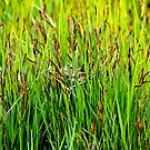 Red-winged Blackbird nest in a wetland by amontanaview