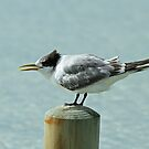 Juvenile Crested Tern by Robert Abraham