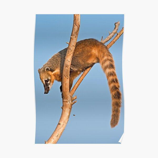 Ring-tailed Coati (Nasua nasua) Poster