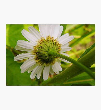 Daisies Never Die Photographic Print