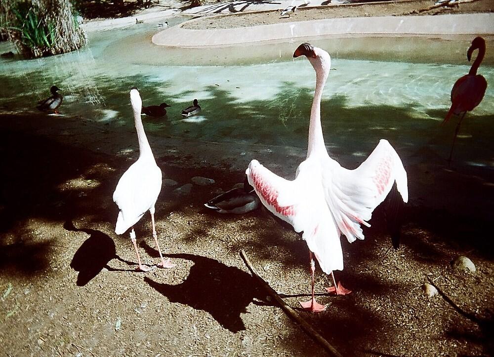 Flamingo - San Diego Zoo by Caixia Lu