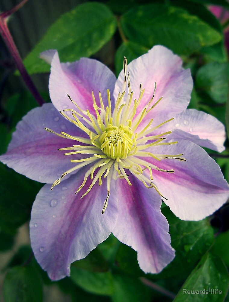 Clematis Flower by Rewards4life