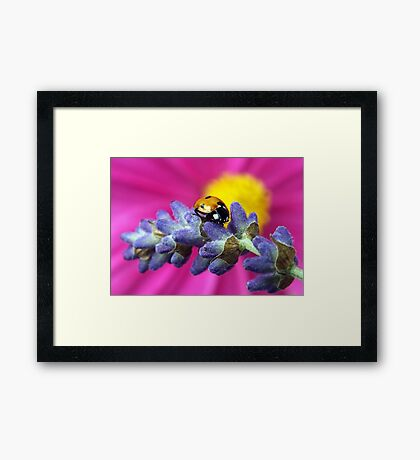 The scent of lavender.... Framed Print
