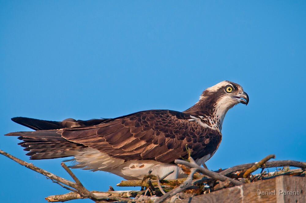 Osprey on Nest by Daniel  Parent