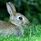 Wild Rabbit  by Caroline Anderson
