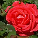 Red Rose by Lee d'Entremont