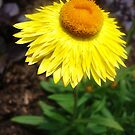 Straw Flower by Allison  Flores