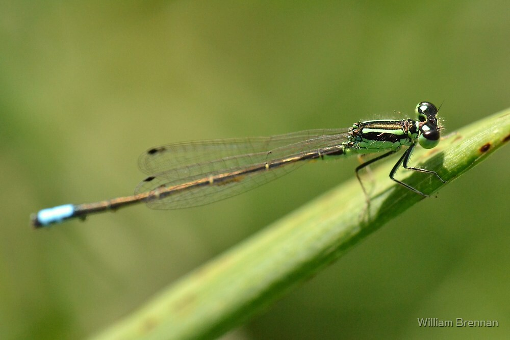 Delicate Blue-tailed Damselfly. by William Brennan