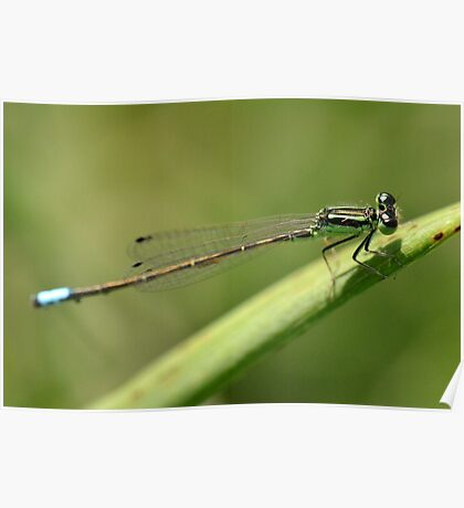 Delicate Blue-tailed Damselfly. Poster