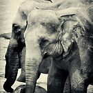 Orphaned Elephants by Dilshara Hill