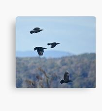 Currawongs in flight Canvas Print